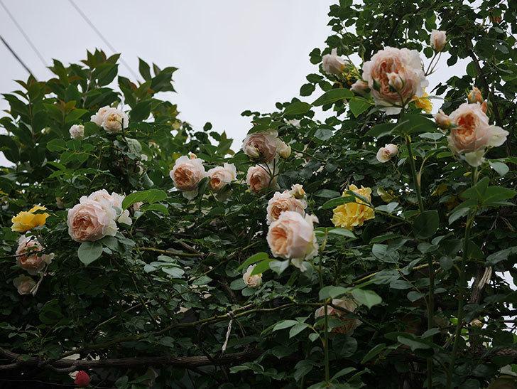 ジンジャー・シラバブ(Ginger Syllabub)の花が満開になった。ツルバラ。2020年-069.jpg