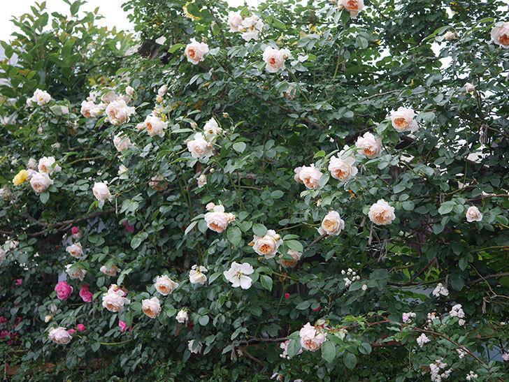 ジンジャー・シラバブ(Ginger Syllabub)の花が満開になった。ツルバラ。2020年-070.jpg