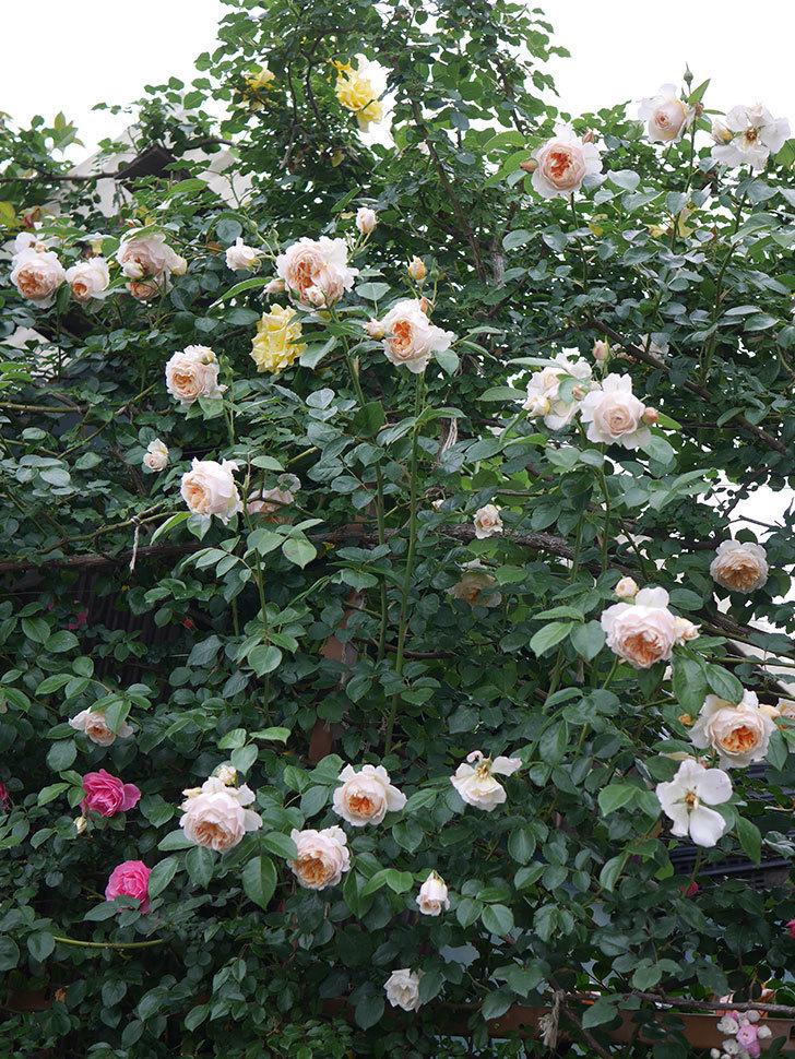 ジンジャー・シラバブ(Ginger Syllabub)の花が満開になった。ツルバラ。2020年-071.jpg