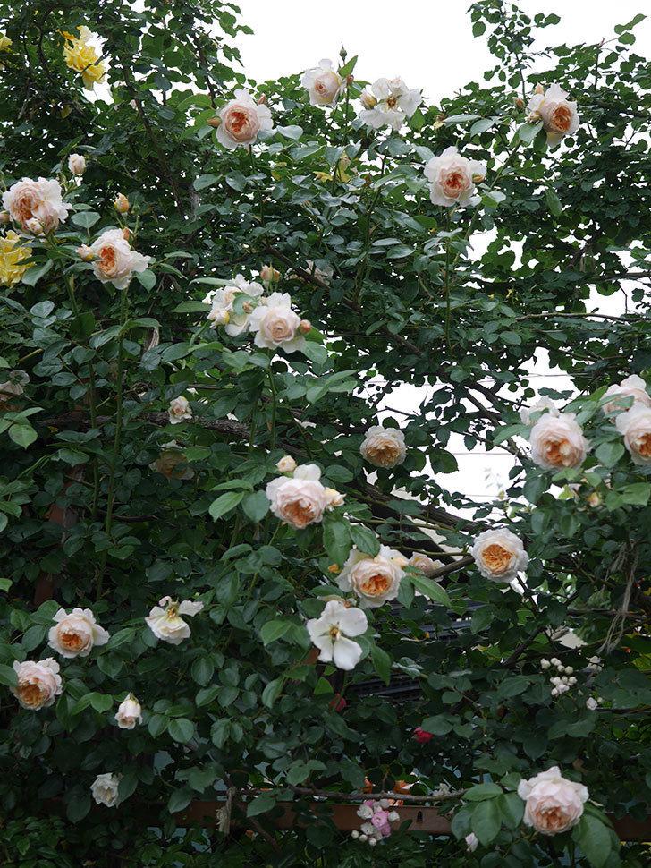 ジンジャー・シラバブ(Ginger Syllabub)の花が満開になった。ツルバラ。2020年-072.jpg