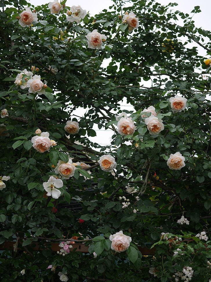 ジンジャー・シラバブ(Ginger Syllabub)の花が満開になった。ツルバラ。2020年-073.jpg