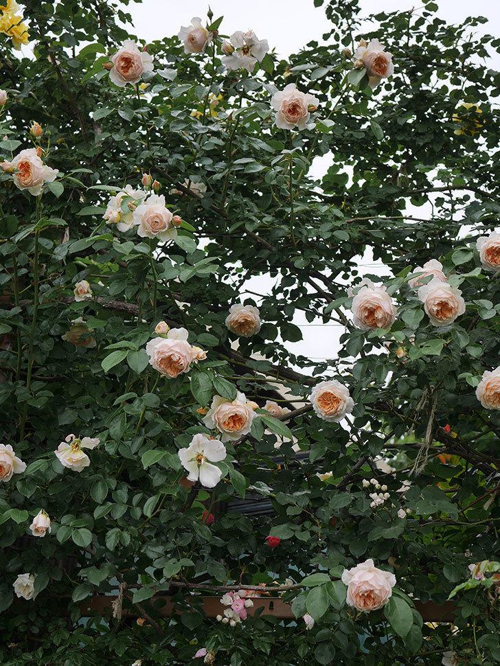 ジンジャー・シラバブ(Ginger Syllabub)の花が満開になった。ツルバラ。2020年-074.jpg