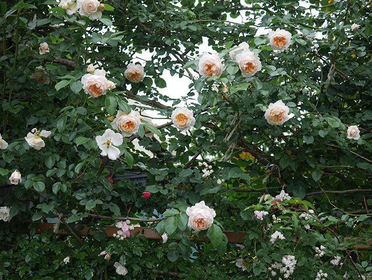 ジンジャー・シラバブ(Ginger Syllabub)の花が満開になった。ツルバラ。2020年-076.jpg