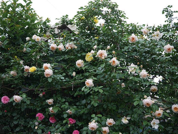 ジンジャー・シラバブ(Ginger Syllabub)の花が満開になった。ツルバラ。2020年-077.jpg