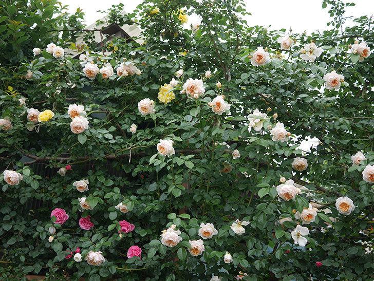 ジンジャー・シラバブ(Ginger Syllabub)の花が満開になった。ツルバラ。2020年-078.jpg