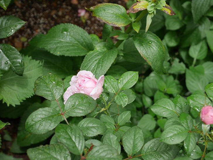 ジ・エンシェント・マリナー(The Ancient Mariner)の2番花が咲いた。半ツルバラ。2020年-002.jpg
