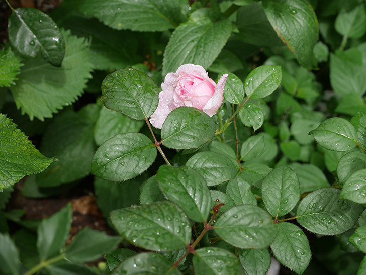 ジ・エンシェント・マリナー(The Ancient Mariner)の2番花が咲いた。半ツルバラ。2020年-003.jpg