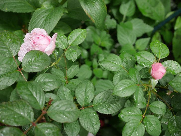 ジ・エンシェント・マリナー(The Ancient Mariner)の2番花が咲いた。半ツルバラ。2020年-004.jpg