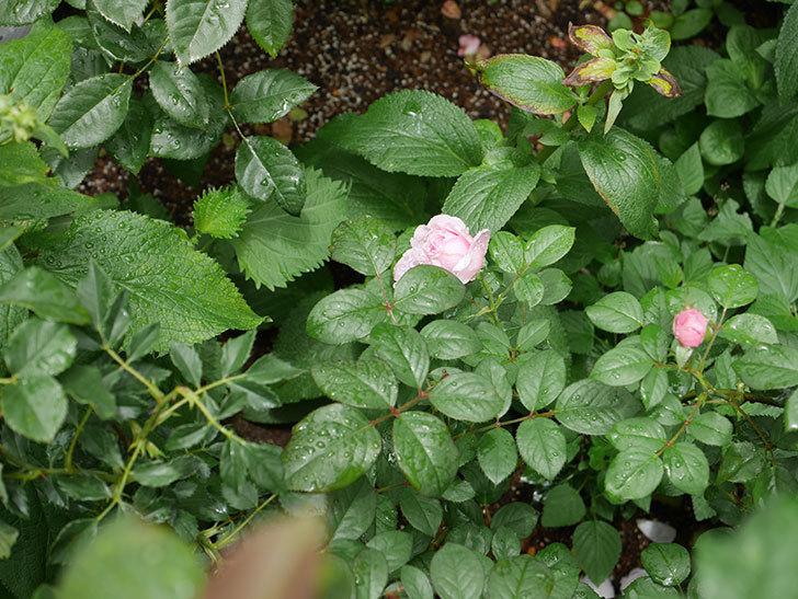 ジ・エンシェント・マリナー(The Ancient Mariner)の2番花が咲いた。半ツルバラ。2020年-005.jpg