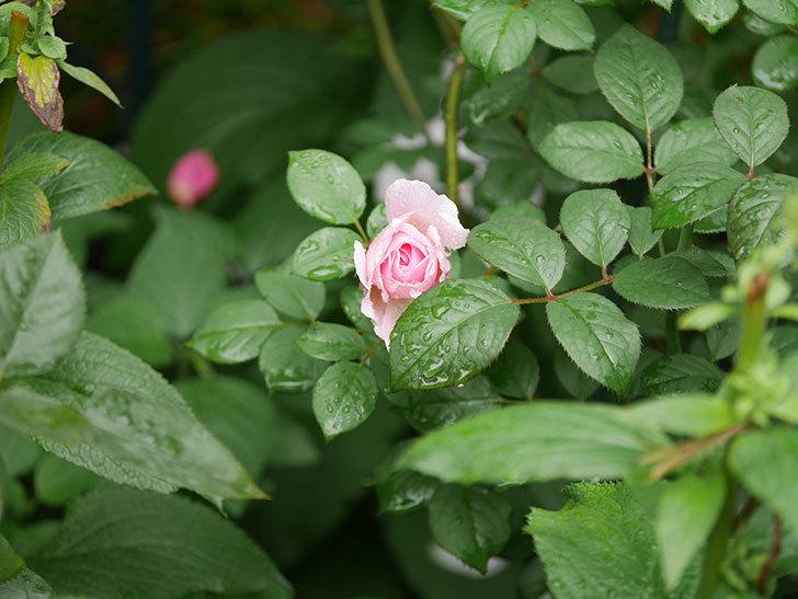 ジ・エンシェント・マリナー(The Ancient Mariner)の2番花が咲いた。半ツルバラ。2020年-006.jpg