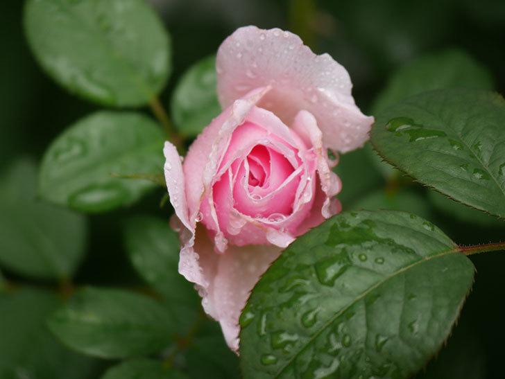 ジ・エンシェント・マリナー(The Ancient Mariner)の2番花が咲いた。半ツルバラ。2020年-007.jpg