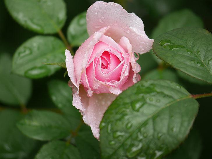 ジ・エンシェント・マリナー(The Ancient Mariner)の2番花が咲いた。半ツルバラ。2020年-009.jpg