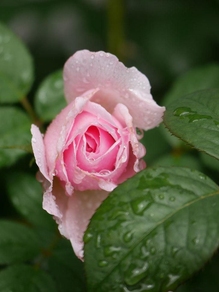 ジ・エンシェント・マリナー(The Ancient Mariner)の2番花が咲いた。半ツルバラ。2020年-011.jpg