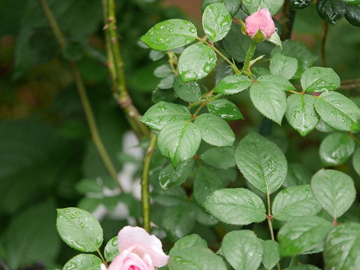 ジ・エンシェント・マリナー(The Ancient Mariner)の2番花が咲いた。半ツルバラ。2020年-012.jpg