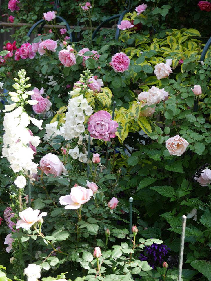 ジ・エンシェント・マリナー(The Ancient Mariner)の花がたくさん咲いた。2021年-001.jpg