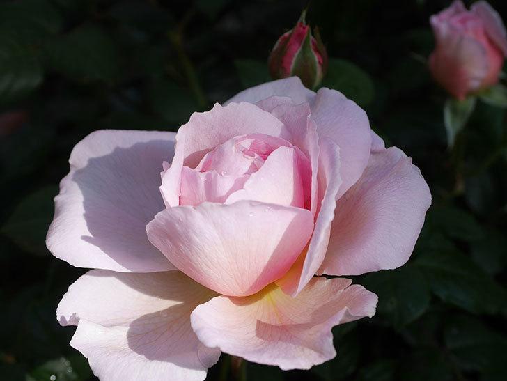 ジ・エンシェント・マリナー(The Ancient Mariner)の花がたくさん咲いた。2021年-002.jpg