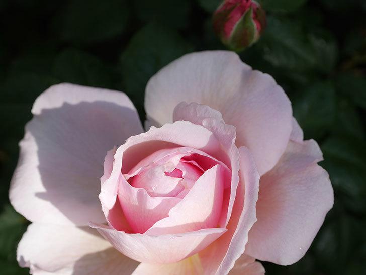 ジ・エンシェント・マリナー(The Ancient Mariner)の花がたくさん咲いた。2021年-003.jpg