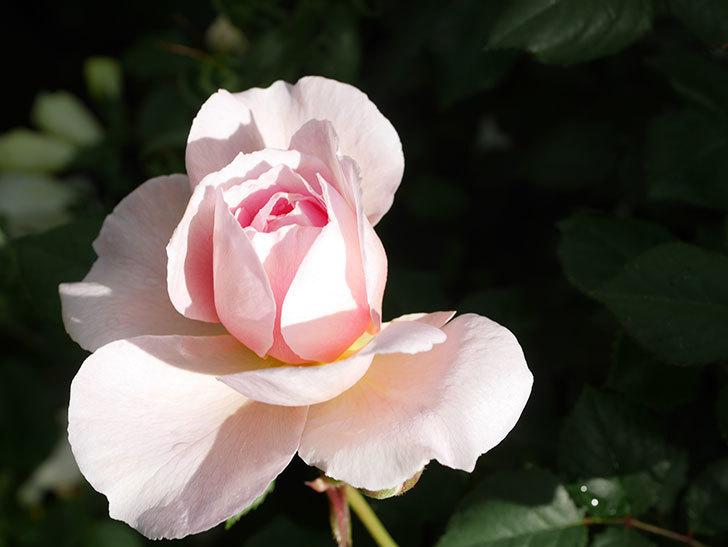 ジ・エンシェント・マリナー(The Ancient Mariner)の花がたくさん咲いた。2021年-004.jpg