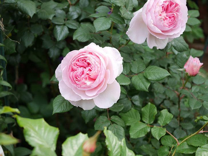 ジ・エンシェント・マリナー(The Ancient Mariner)の花がたくさん咲いた。2021年-005.jpg