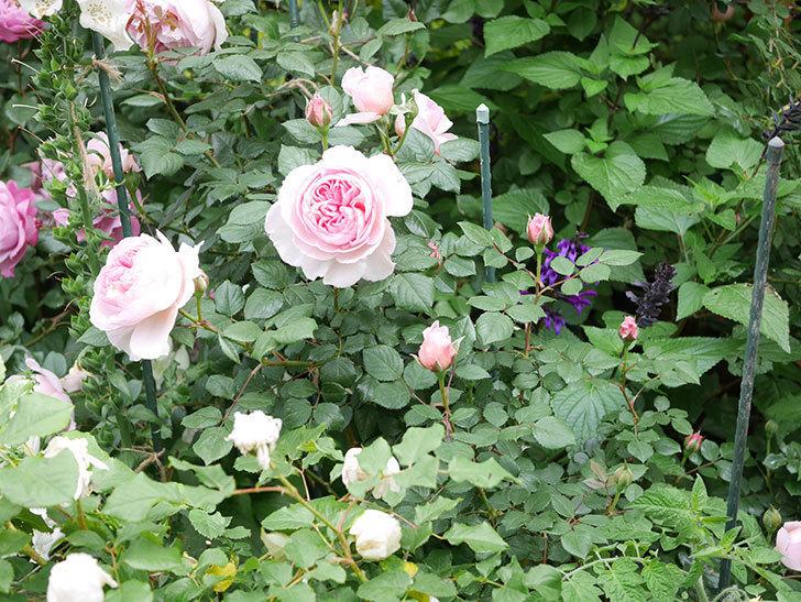 ジ・エンシェント・マリナー(The Ancient Mariner)の花がたくさん咲いた。2021年-011.jpg