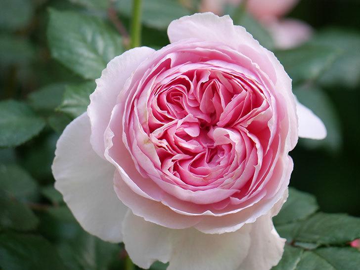 ジ・エンシェント・マリナー(The Ancient Mariner)の花がたくさん咲いた。2021年-016.jpg