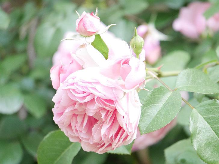 ジ・エンシェント・マリナー(The Ancient Mariner)の花がたくさん咲いた。2021年-017.jpg