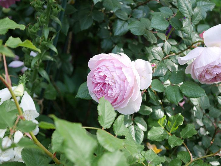 ジ・エンシェント・マリナー(The Ancient Mariner)の花がたくさん咲いた。2021年-019.jpg