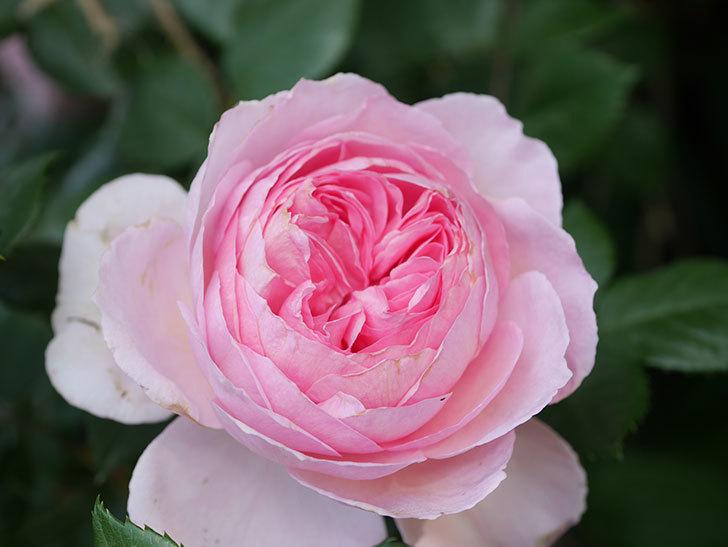 ジ・エンシェント・マリナー(The Ancient Mariner)の花がたくさん咲いた。2021年-022.jpg