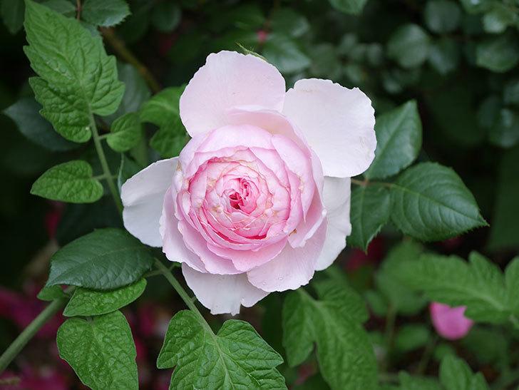 ジ・エンシェント・マリナー(The Ancient Mariner)の花がたくさん咲いた。2021年-026.jpg