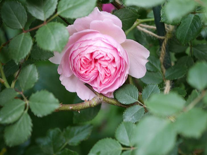 ジ・エンシェント・マリナー(The Ancient Mariner)の花がたくさん咲いた。2021年-027.jpg