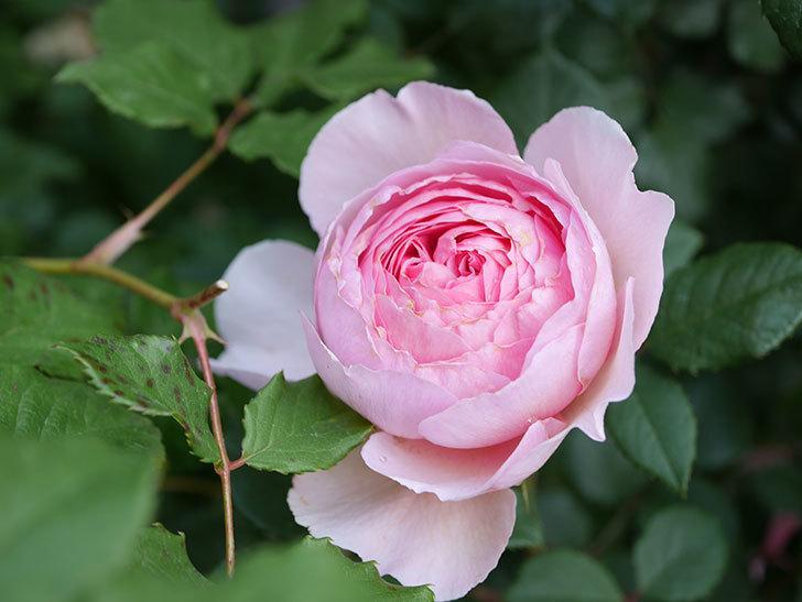 ジ・エンシェント・マリナー(The Ancient Mariner)の花がたくさん咲いた。2021年-028.jpg