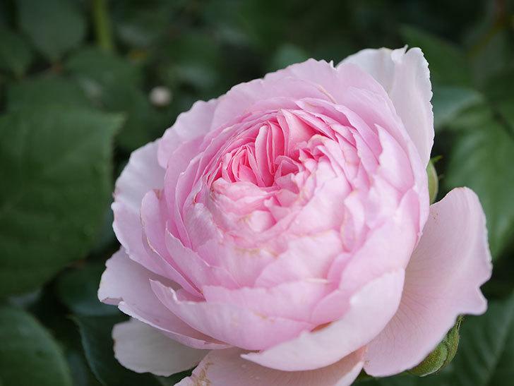 ジ・エンシェント・マリナー(The Ancient Mariner)の花がたくさん咲いた。2021年-030.jpg