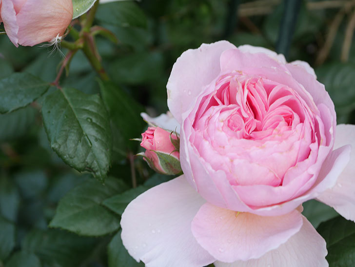 ジ・エンシェント・マリナー(The Ancient Mariner)の花がたくさん咲いた。2021年-032.jpg