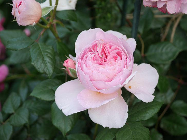 ジ・エンシェント・マリナー(The Ancient Mariner)の花がたくさん咲いた。2021年-033.jpg