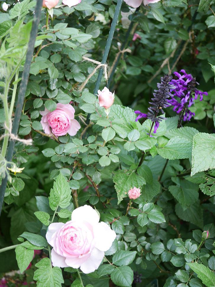 ジ・エンシェント・マリナー(The Ancient Mariner)の花がたくさん咲いた。2021年-035.jpg