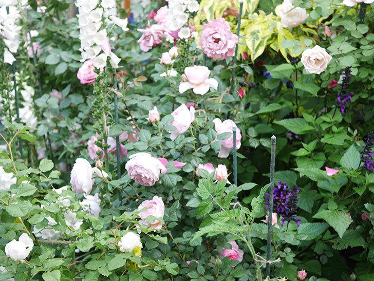 ジ・エンシェント・マリナー(The Ancient Mariner)の花がたくさん咲いた。2021年-036.jpg