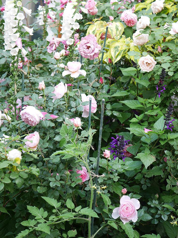 ジ・エンシェント・マリナー(The Ancient Mariner)の花がたくさん咲いた。2021年-037.jpg