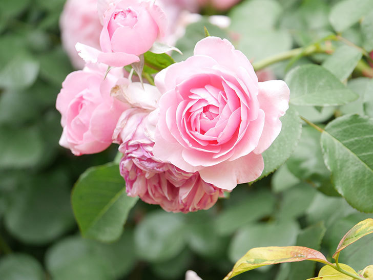 ジ・エンシェント・マリナー(The Ancient Mariner)の花がたくさん咲いた。2021年-039.jpg
