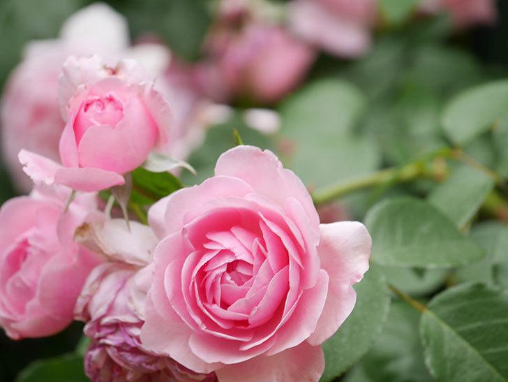 ジ・エンシェント・マリナー(The Ancient Mariner)の花がたくさん咲いた。2021年-040.jpg