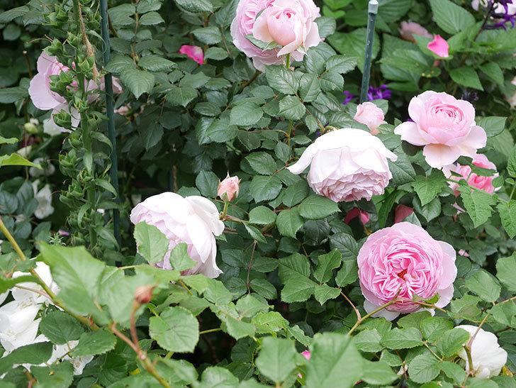 ジ・エンシェント・マリナー(The Ancient Mariner)の花がたくさん咲いた。2021年-043.jpg