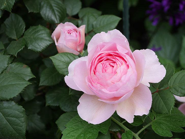 ジ・エンシェント・マリナー(The Ancient Mariner)の花がたくさん咲いた。2021年-046.jpg