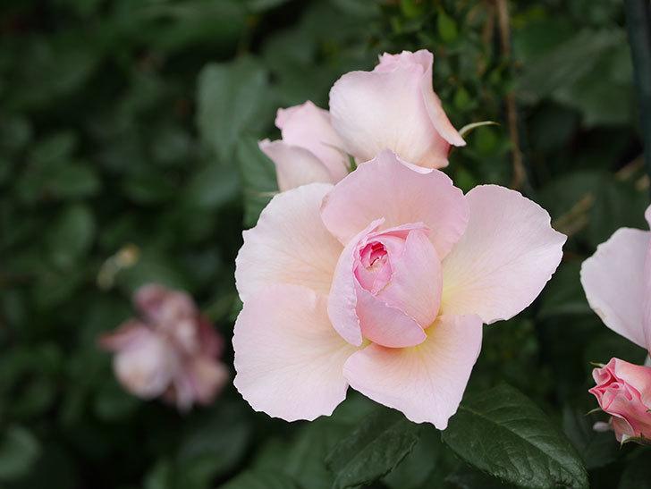 ジ・エンシェント・マリナー(The Ancient Mariner)の花がたくさん咲いた。2021年-049.jpg