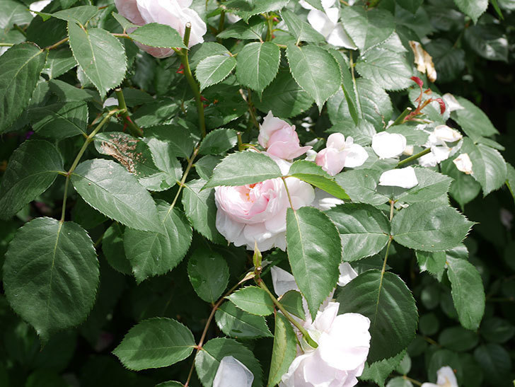 ジ・エンシェント・マリナー(The Ancient Mariner)の花がたくさん咲いた。2021年-052.jpg