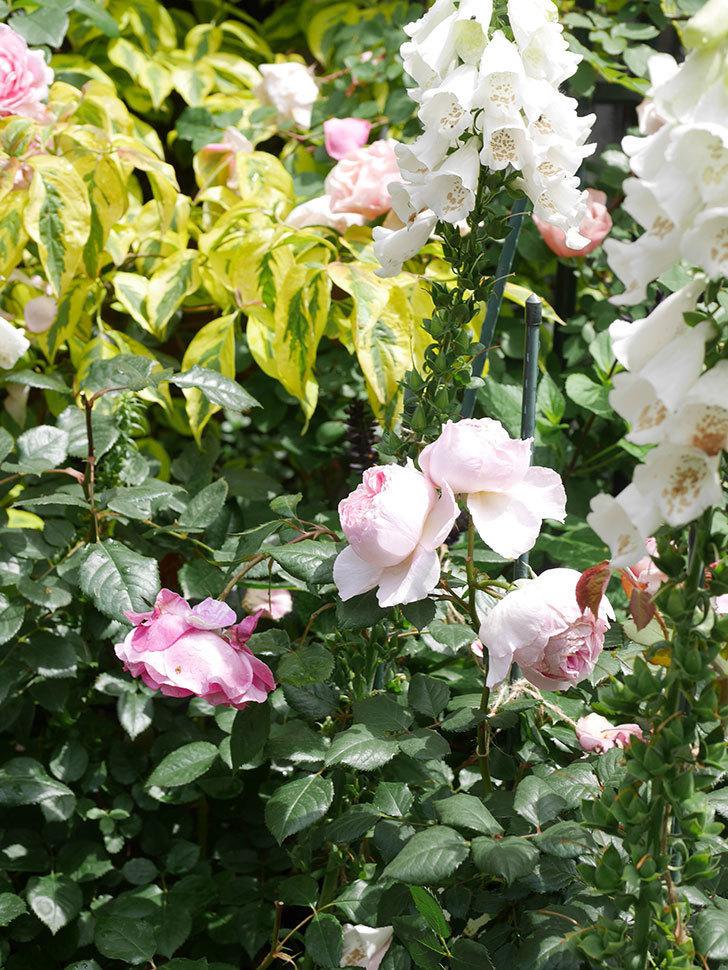 ジ・エンシェント・マリナー(The Ancient Mariner)の花がたくさん咲いた。2021年-054.jpg