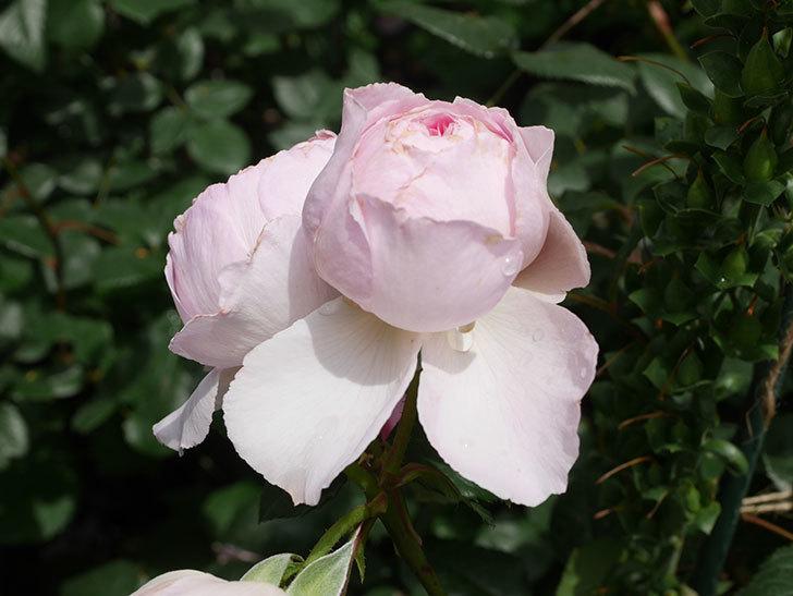 ジ・エンシェント・マリナー(The Ancient Mariner)の花がたくさん咲いた。2021年-056.jpg