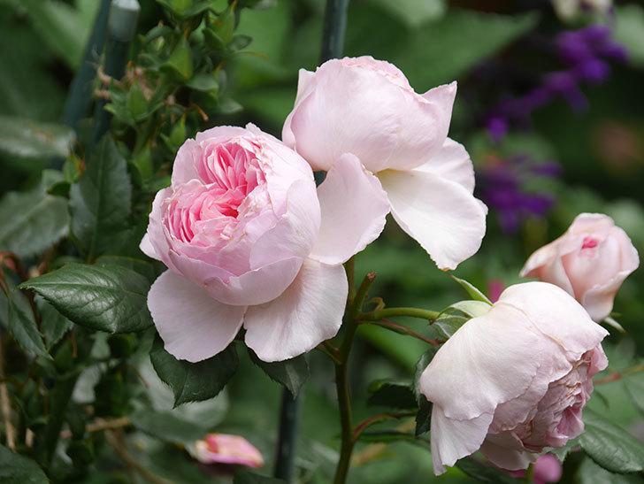 ジ・エンシェント・マリナー(The Ancient Mariner)の花がたくさん咲いた。2021年-057.jpg