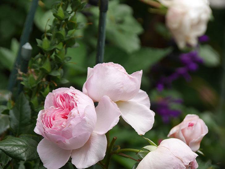ジ・エンシェント・マリナー(The Ancient Mariner)の花がたくさん咲いた。2021年-058.jpg