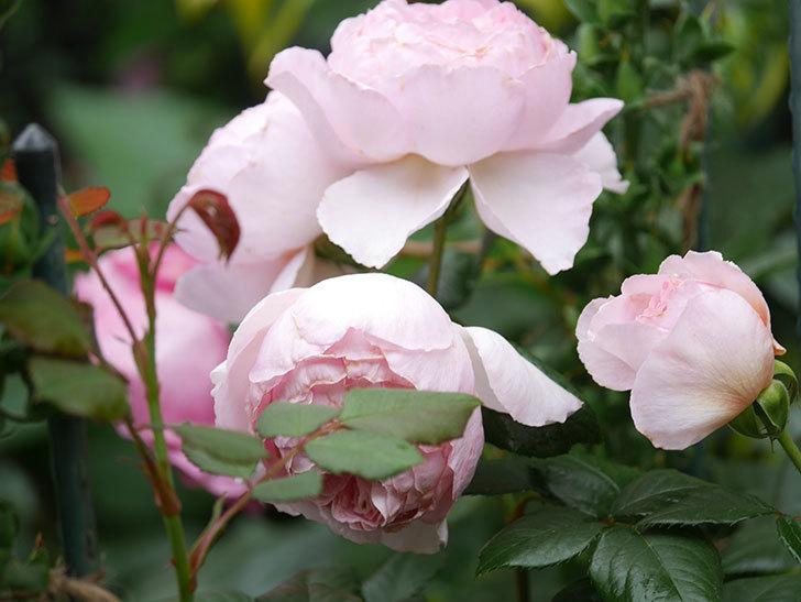 ジ・エンシェント・マリナー(The Ancient Mariner)の花がたくさん咲いた。2021年-060.jpg