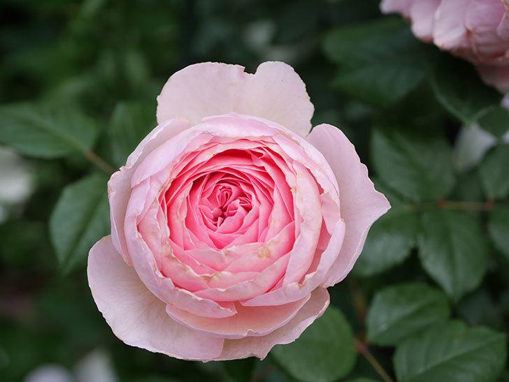 ジ・エンシェント・マリナー(The Ancient Mariner)の花がたくさん咲いた。2021年-061.jpg