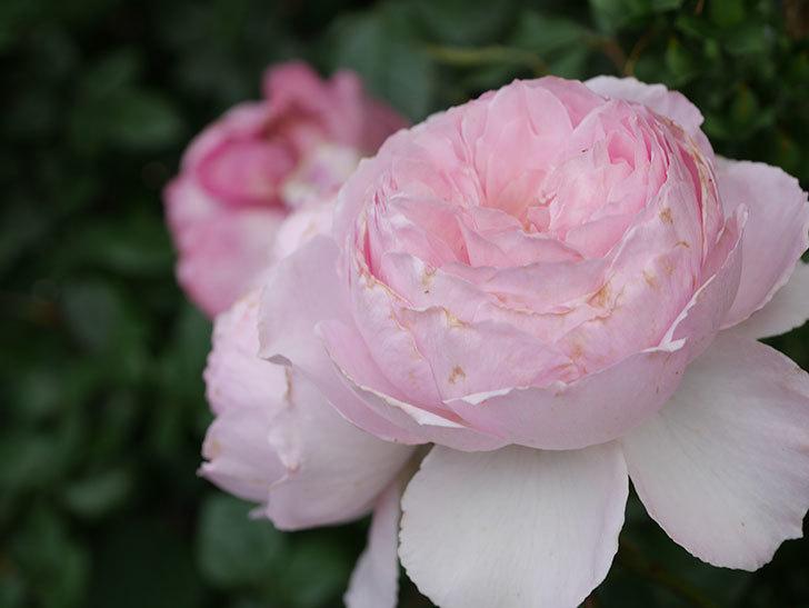 ジ・エンシェント・マリナー(The Ancient Mariner)の花がたくさん咲いた。2021年-062.jpg